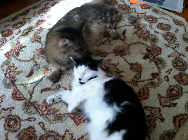 Fellini and Coco Chanel are dreaming of their two Persian cat cousins in Dayton - tangledpasta.net