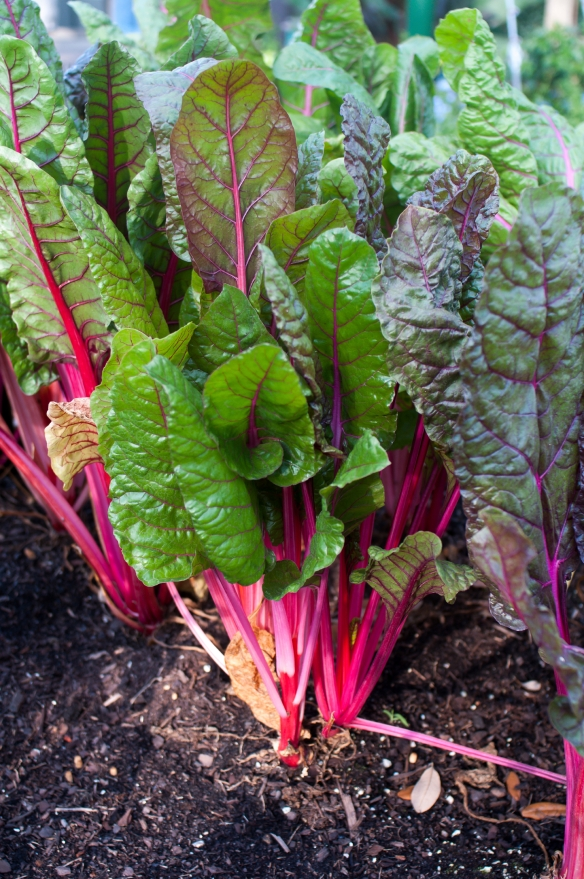 Swiss chard like my father used to grow in his garden - tangledpasta.net